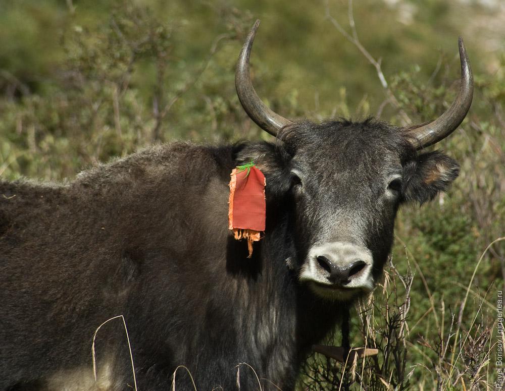 дзо - гибрид яка и коровы, dzo a hybrid of a cow and a yak