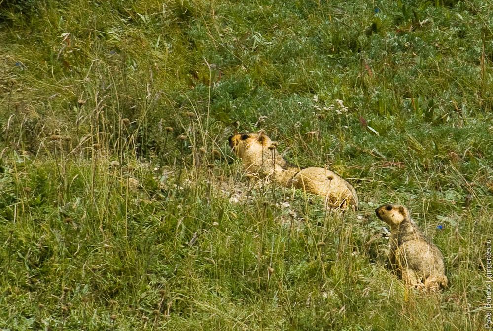 взрослый сурок и детеныш сурка, marmots adult and juvenile