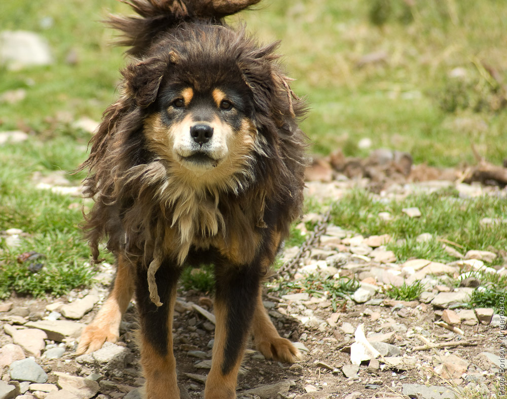 тибетский мастиф, tibetan mastiff