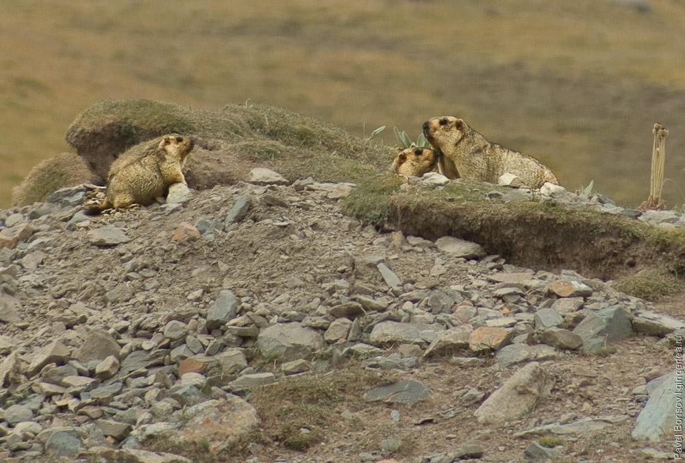 семья сурков у сурчины, marmots family near a burrow