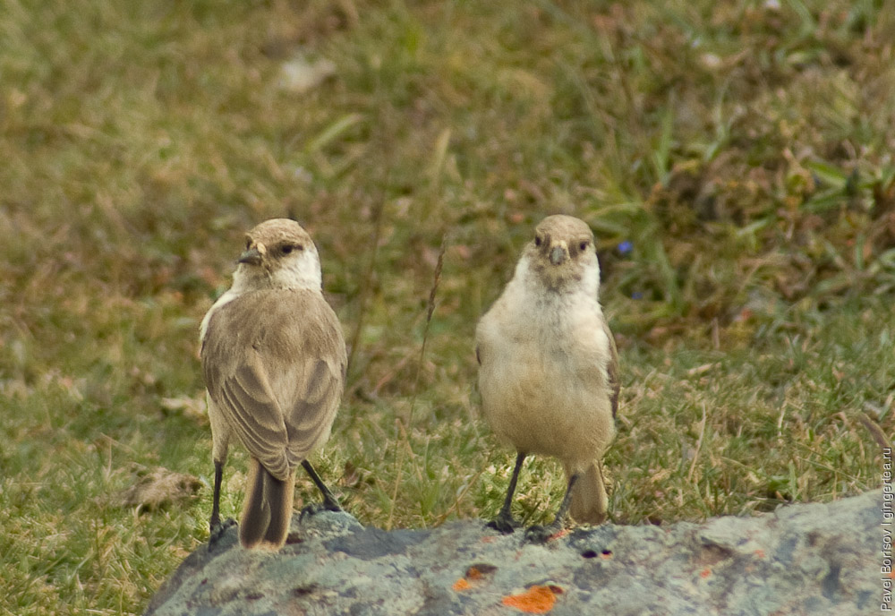 птица в Тибете, bird in Tibet
