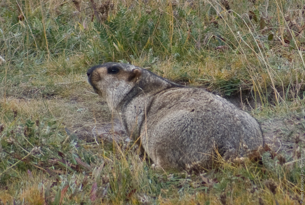 сурок у норы, marmot near the burrow