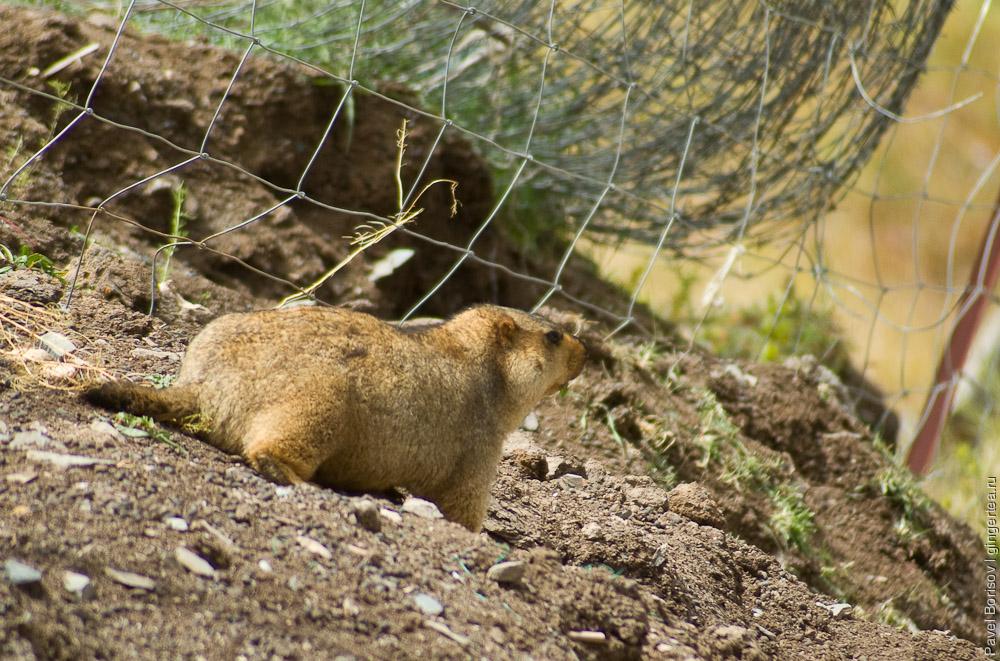 сурок вырыл нору у границы пастбища, marmot near the burrow