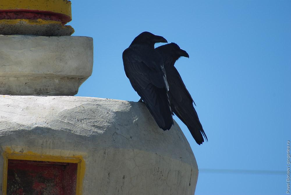 пара ворон на ступе, a raven couple on a stupa