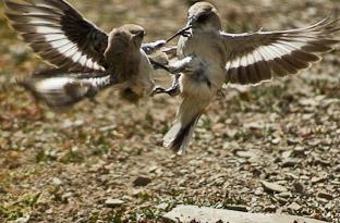 Брачные игры или птичье кунг-фу в Тибете. Животные Тибета - часть 3