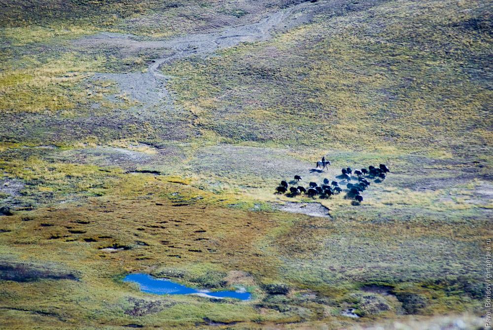 стадо яков перегоняют через перевал