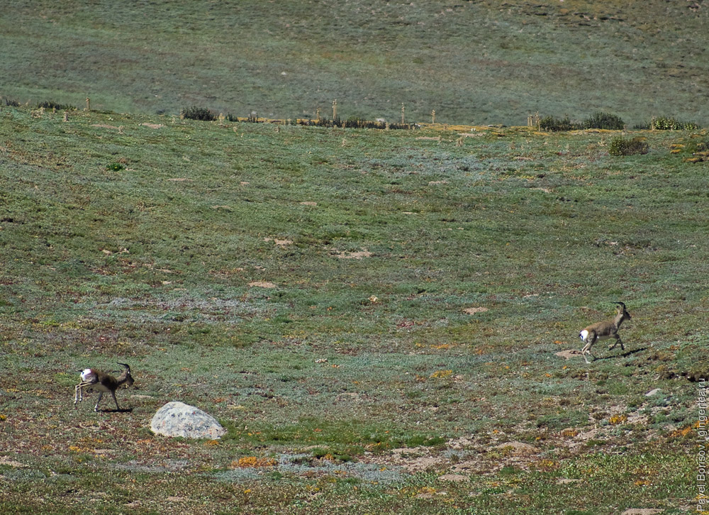 антилопы оронго, orongo antelope