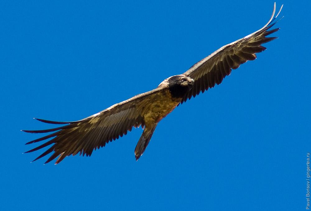птицы Тибета