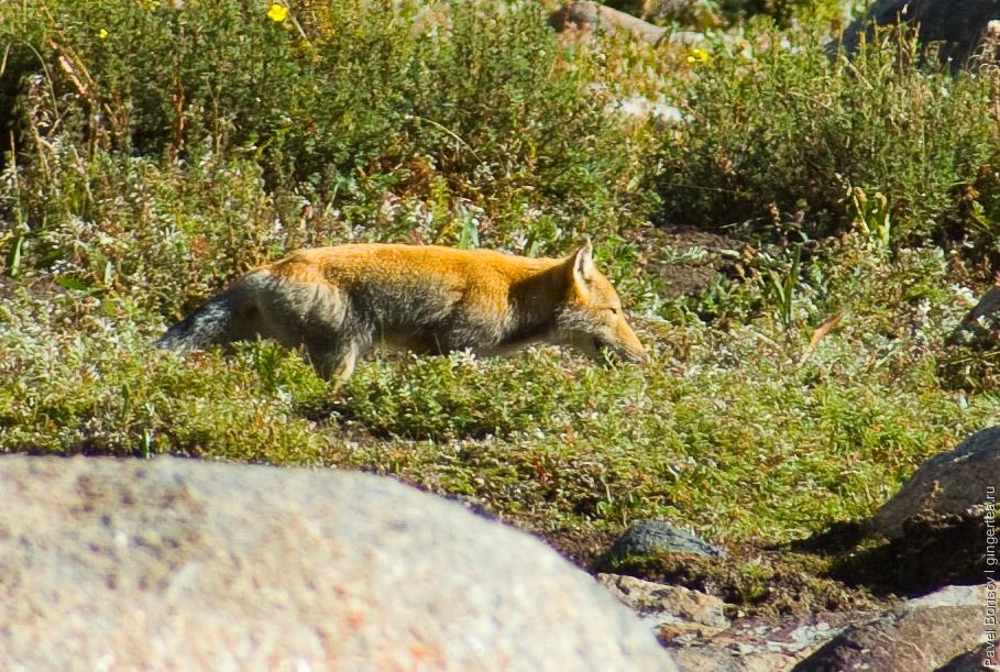 тибетская лиса, tibetan fox