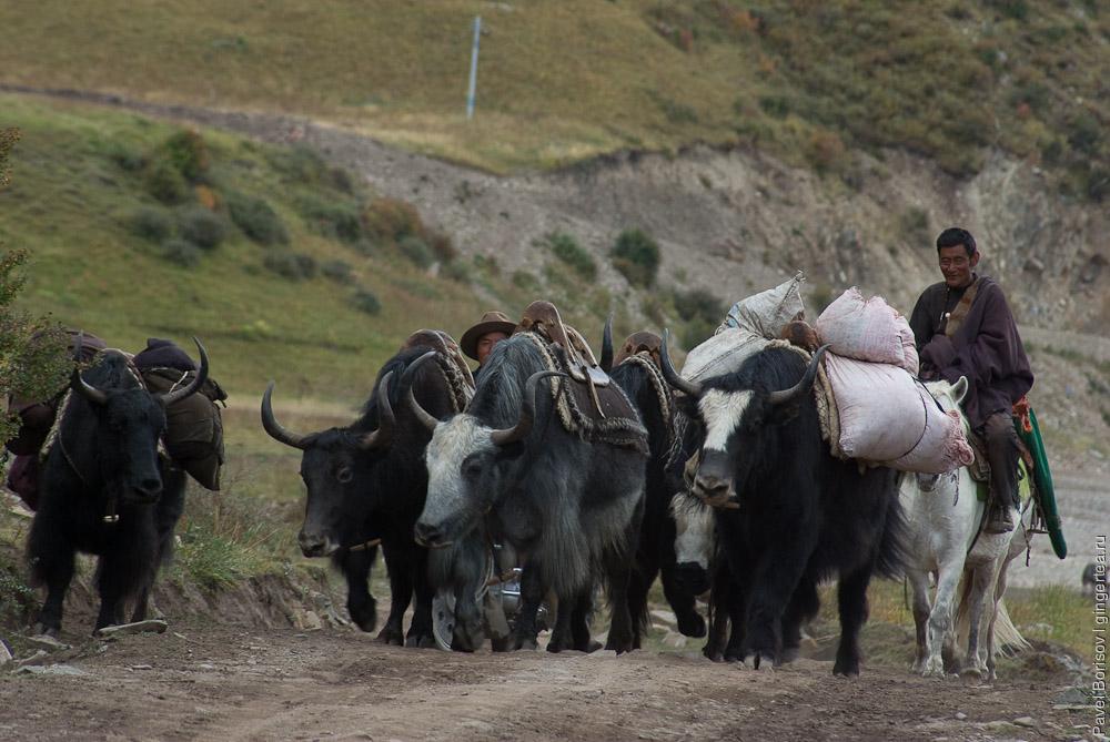 Самых сильных яков нагружают и гонят их с товаром в город