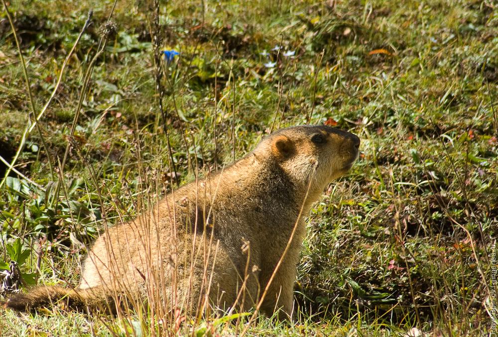 сурок в позе опасности осматривает окрестности и свистит, marmot looking around and whistling  in a signal position