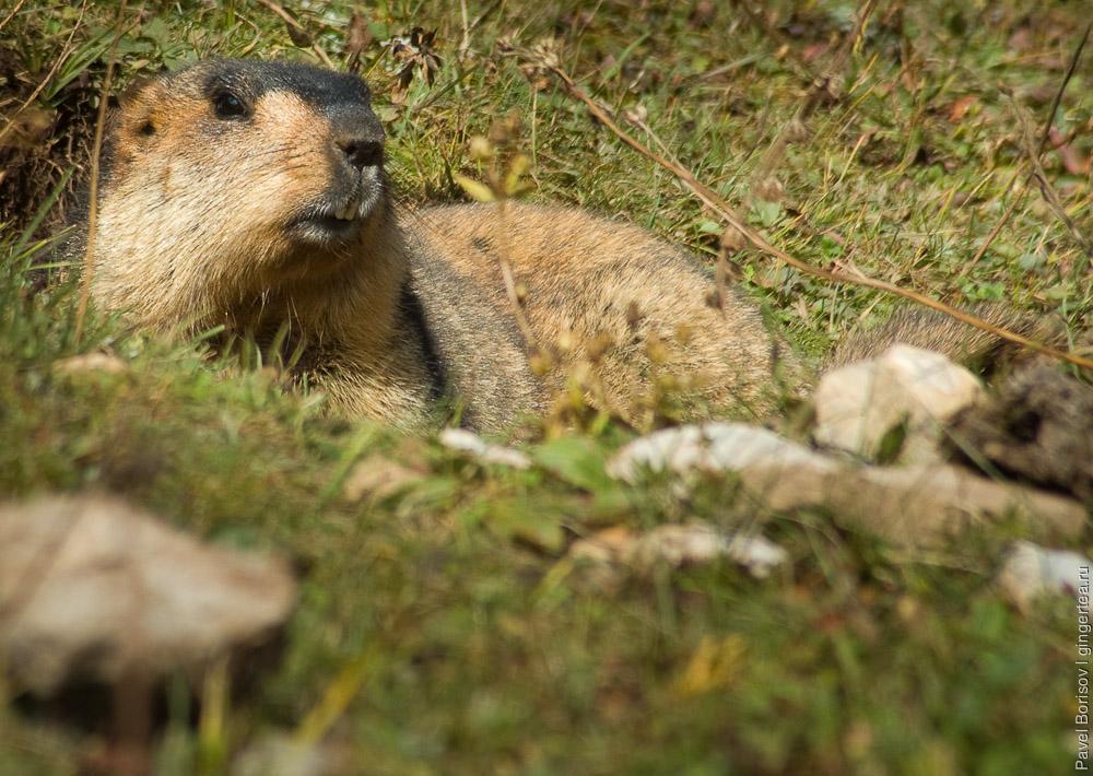 сурок выглядывает из норы, marmot looks out of a burrow
