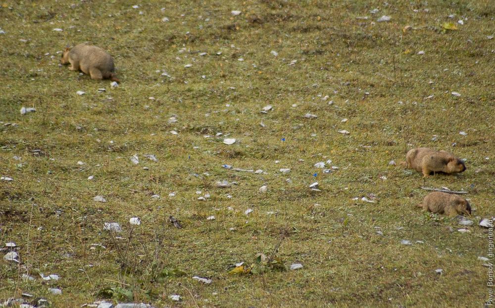 сурки на пастбище, marmots on grassland