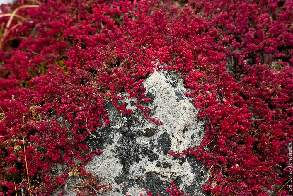 растения Розовой долины у горы Гьеньен, Сычуань