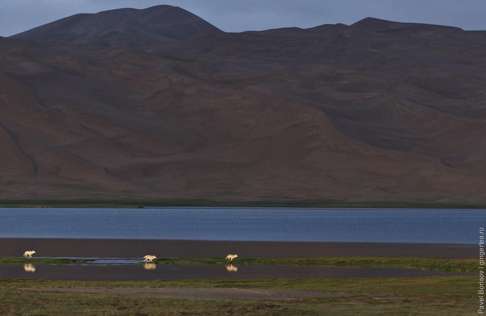 Куньлунь, Чангтанг, тибетский волк, стая, Kunlun, Changtang, tibetan wolfs, а pack