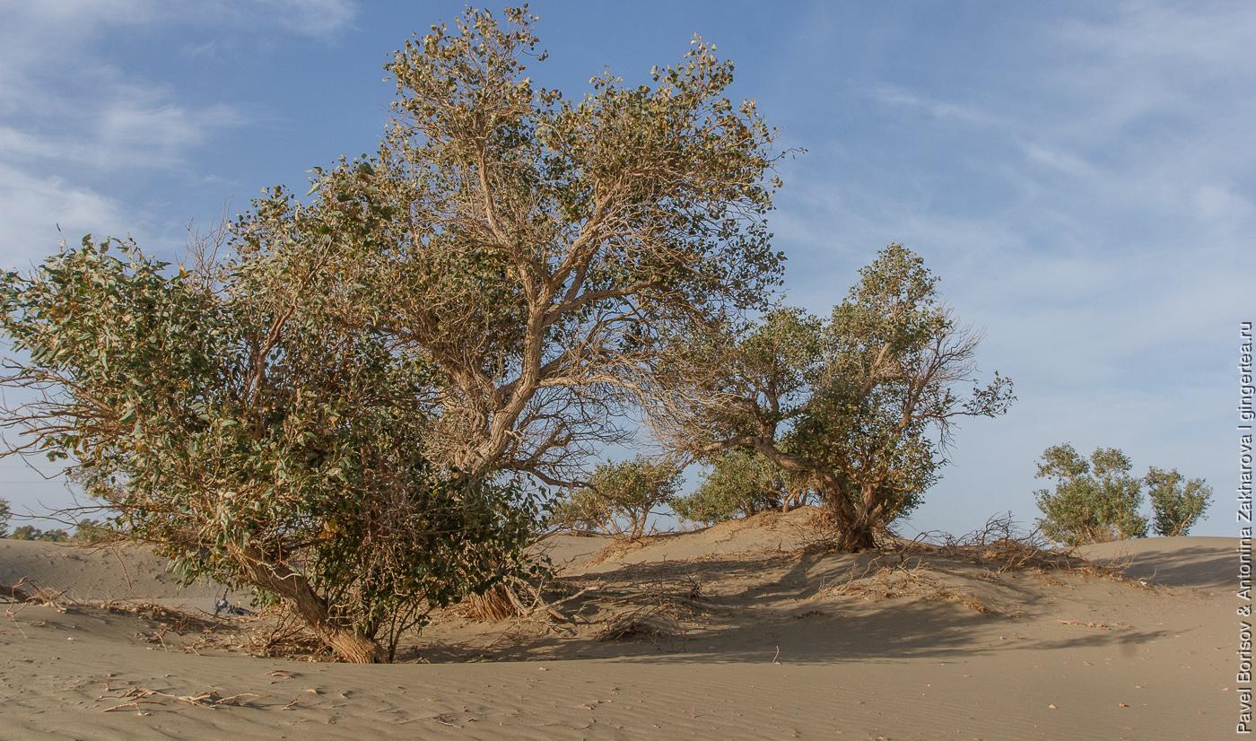 разнолистные тополя на северо-западе Китая, в пустыне Такла-Макан