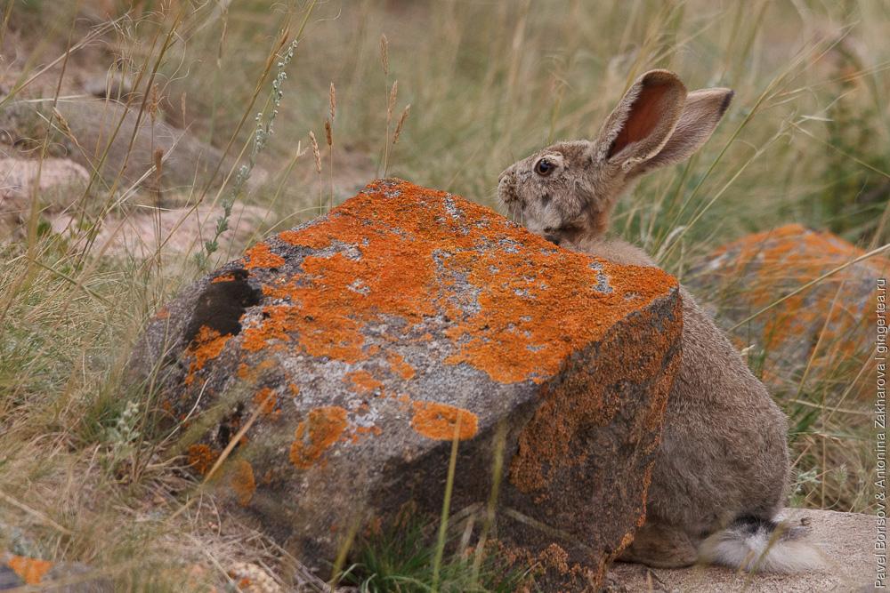 Яркендский заяц