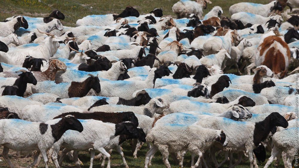 бараны и овцы, помеченные краской, в Китае