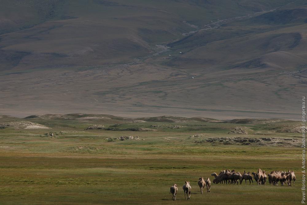 табун верблюдов в Китайском Тянь-Шане