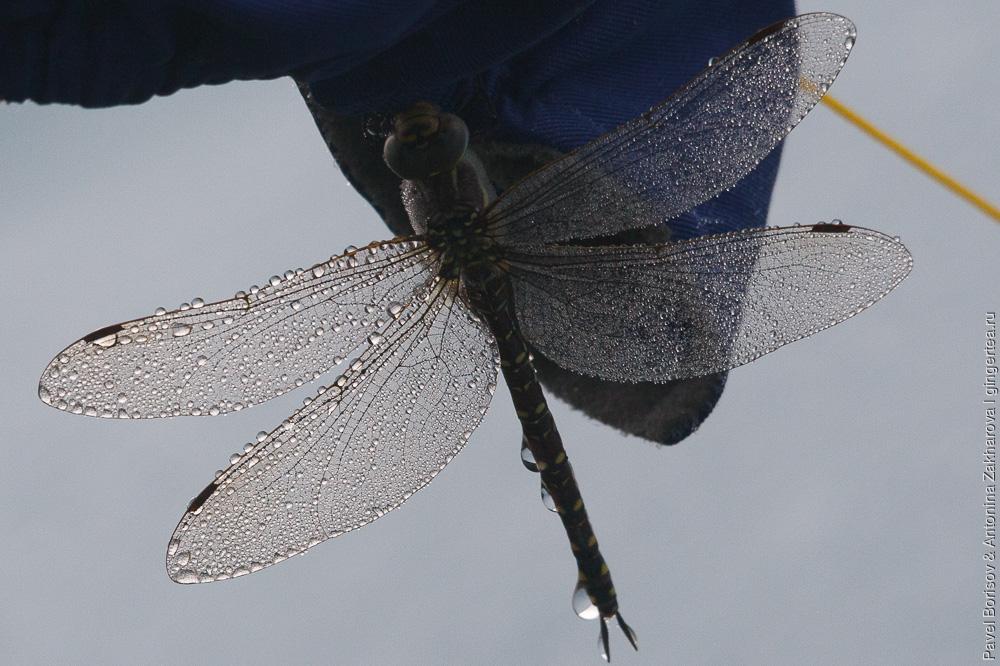 капли на крыльях стрекозы