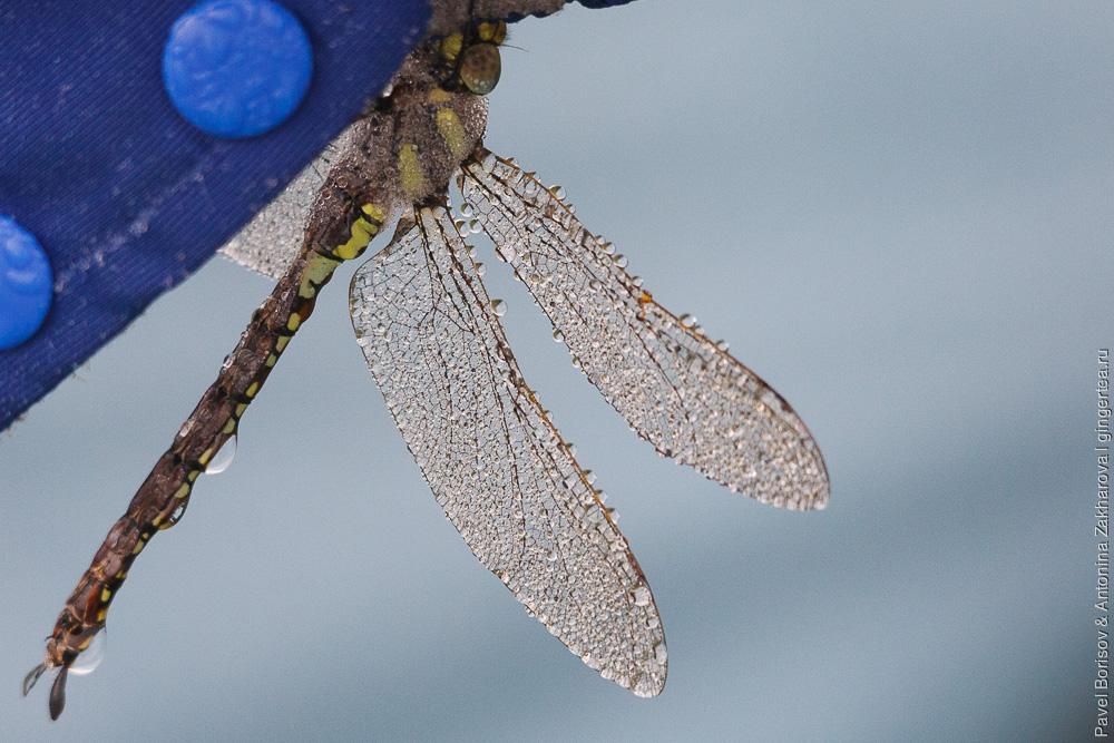 стрекоза с каплями воды на крыльях