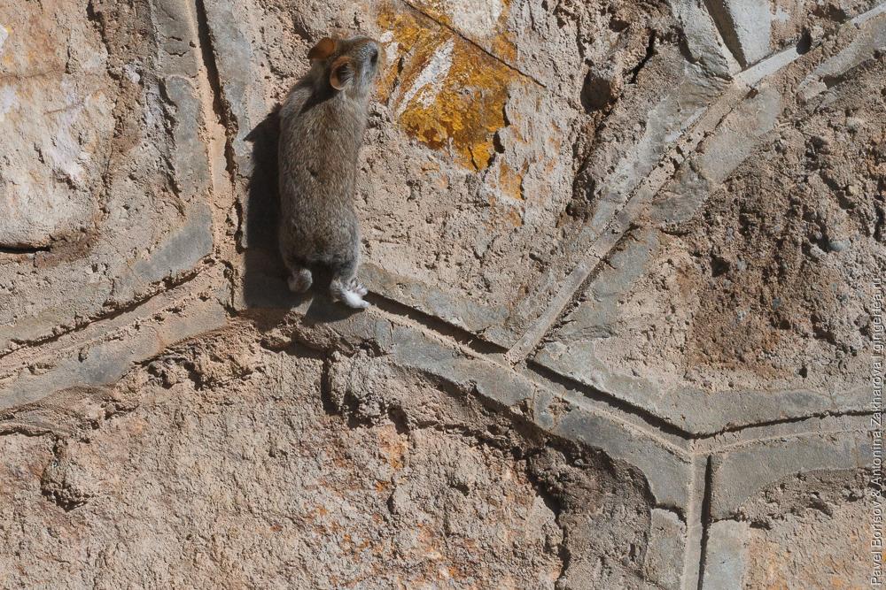 мышь забирается на стену