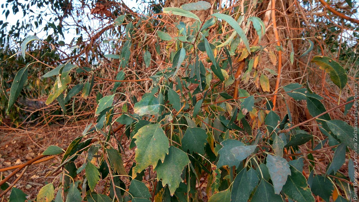 разные листья у разнолистные тополя в пустыне Такла-Макан