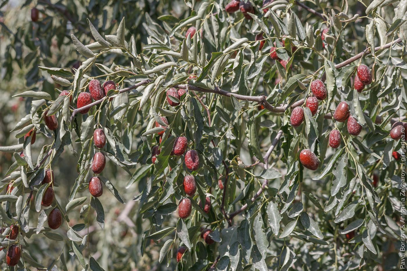 китайские финики сохнут на дереве