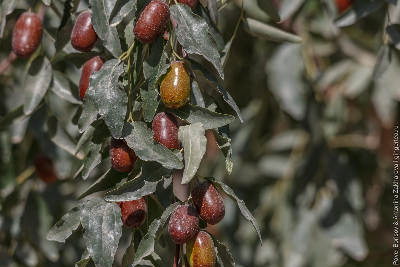 свежие плоды зизифуса