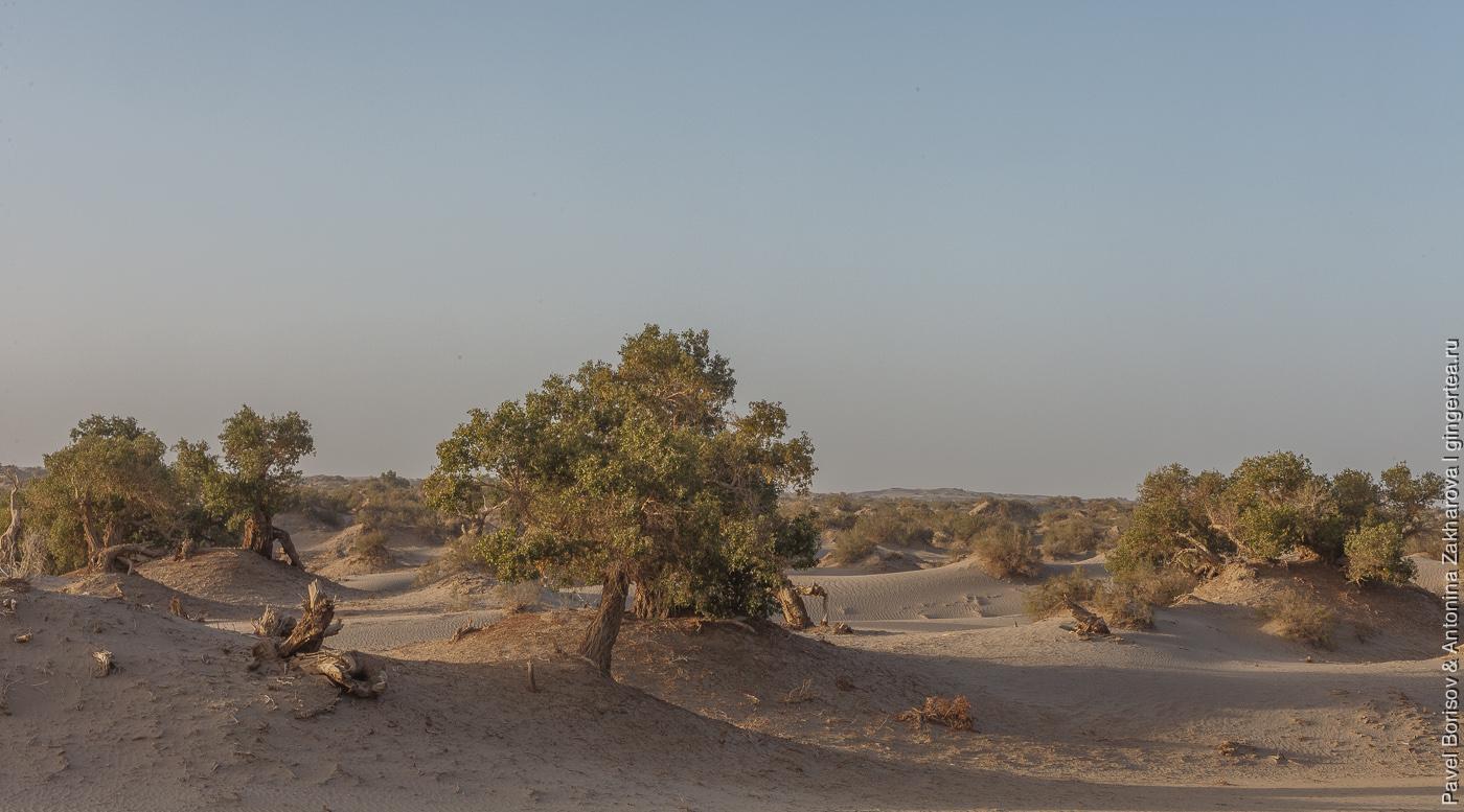 роща тополей в пустыне Такла-Макан в Китае