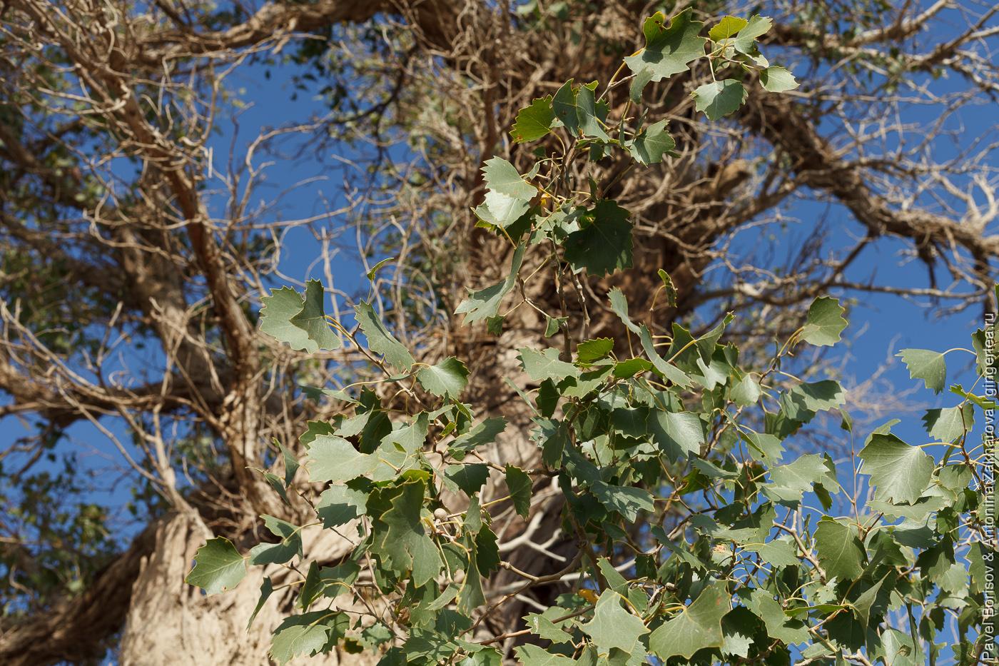 листья разнолистного тополя