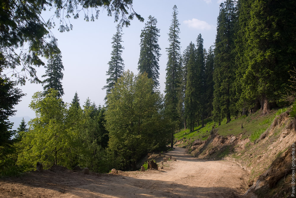 Еловый лес перед перевалом Джалори,  fir-tree forest before Jalori pass