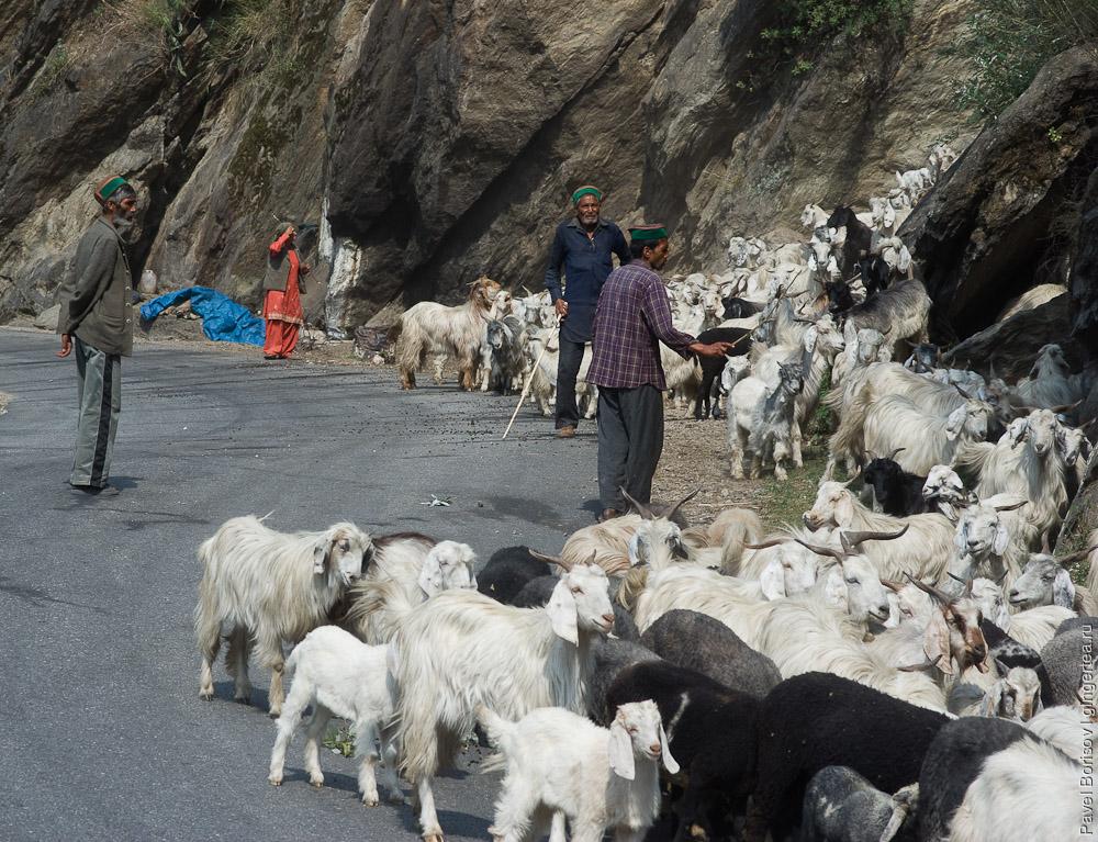 козы в Индии, goats in India