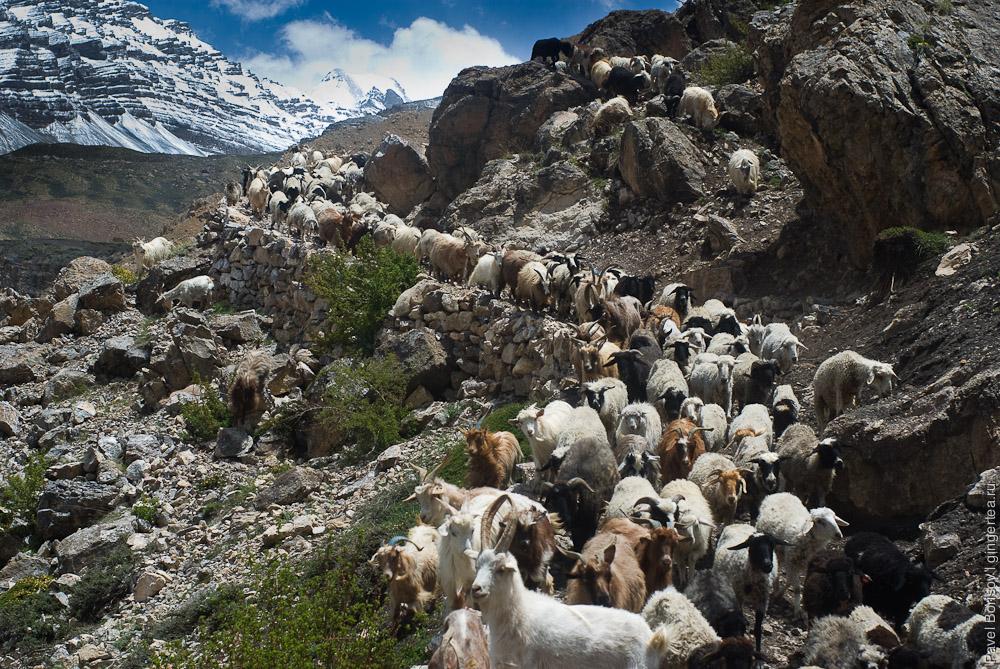 бараны и овцы в долине Спити, goats and sheeps in Spiti valley