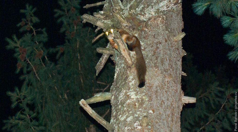рыжая гигантская летяга, red giant flying squirrel, Petaurista petaurista