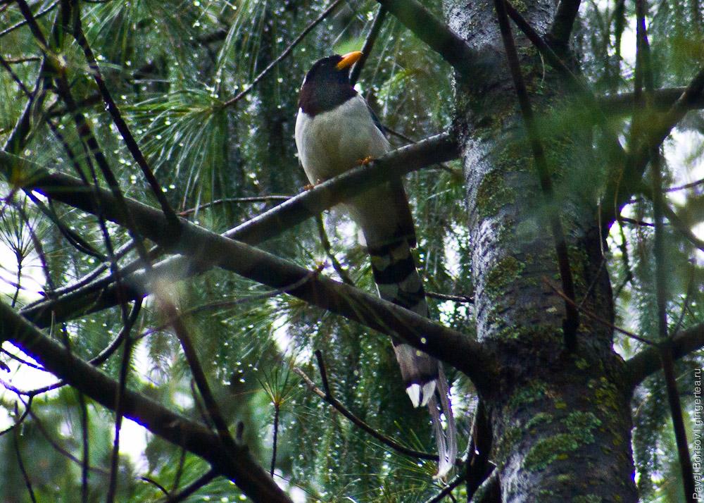 желтоклювая лазоревая сорока, golden-billed magpie, Urocissa flavirostris