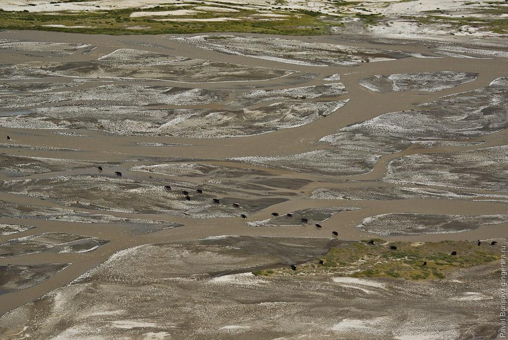 Стадо яков самостоятельно переправляется через полноводную реку, Каргил, Индия