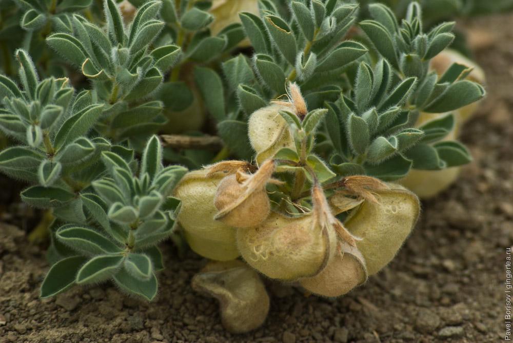пушистое растение в Ладакхе