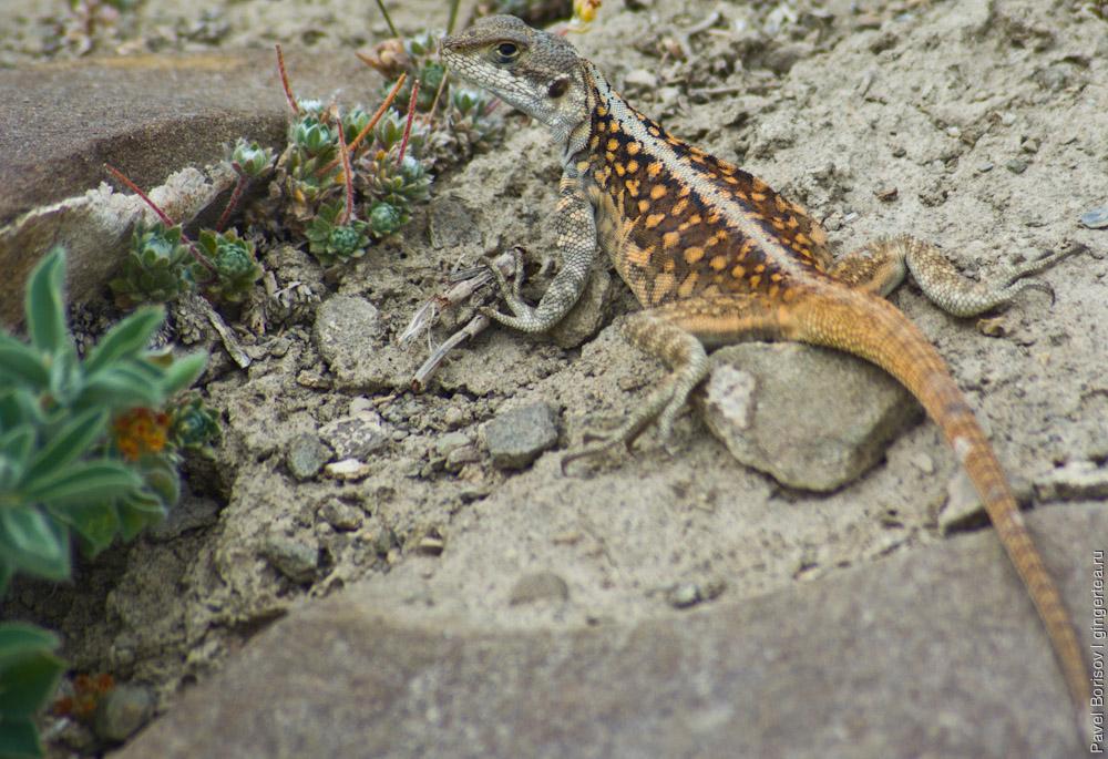 ящерица семейства агамовых в Ладакхе
