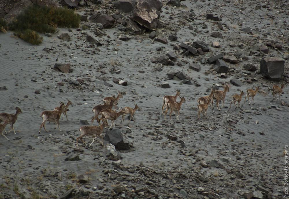 горные козлы у слияние реки Инд и реки Занскар