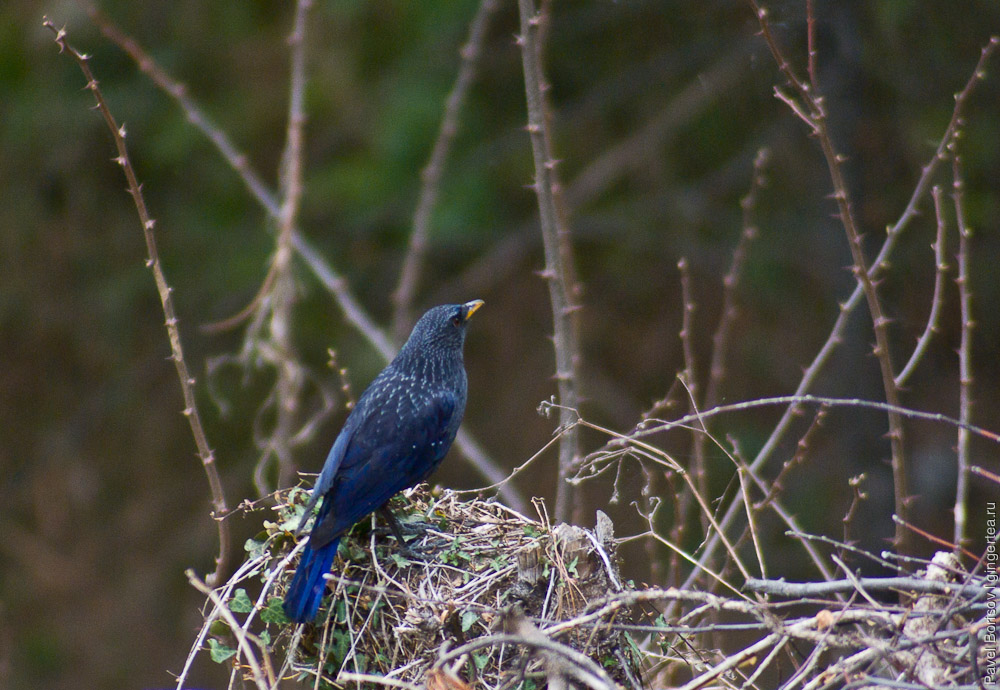 Синяя птица, Myophonus caeruleus