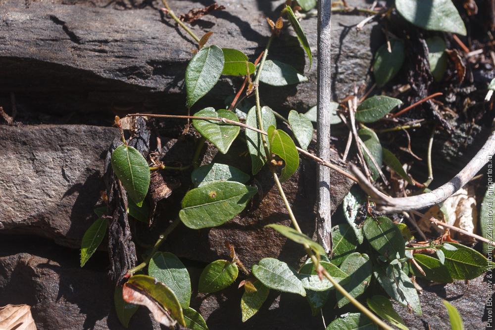 растения в Гималаях
