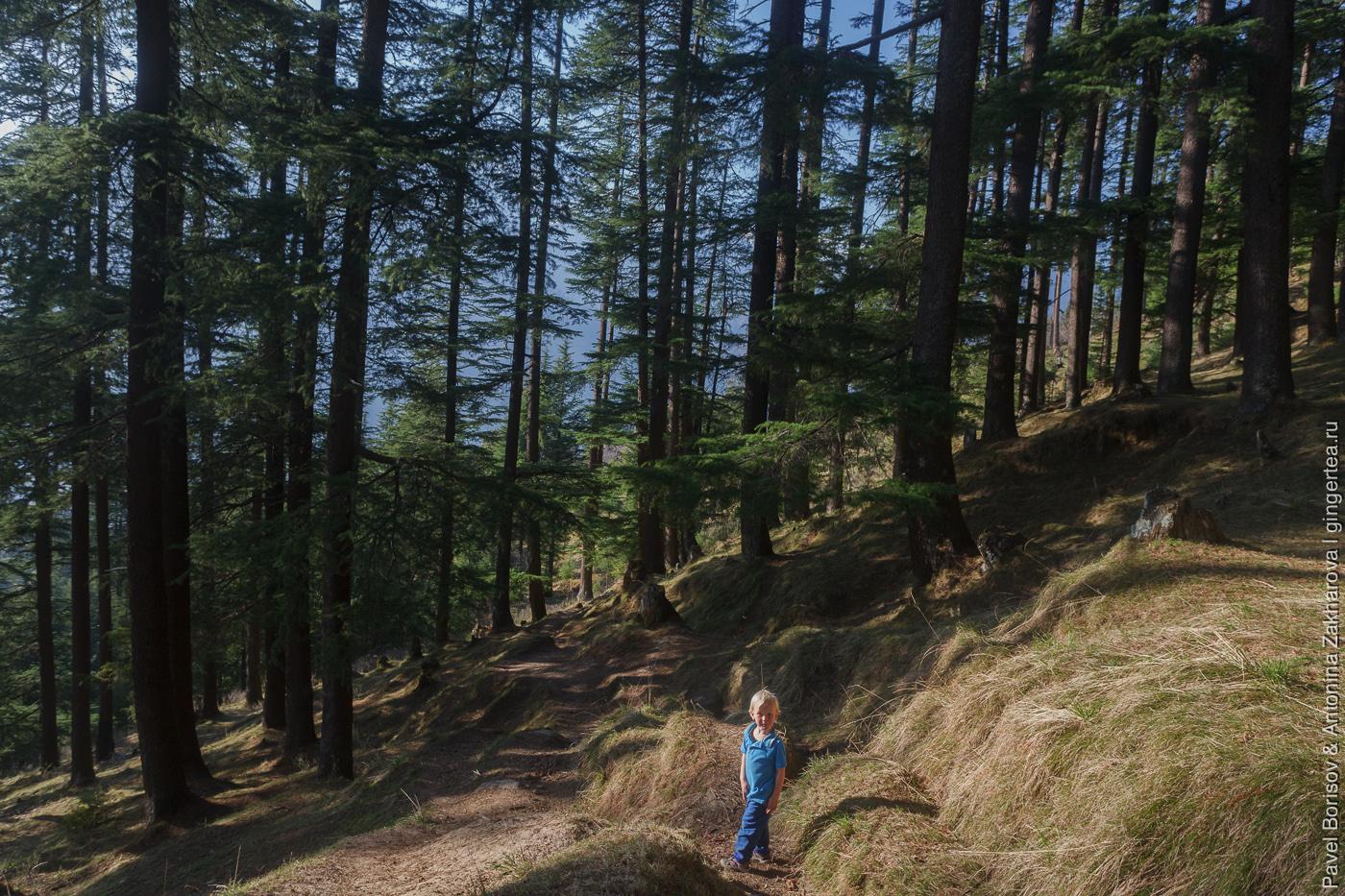 Какой лес растет в Гималаях