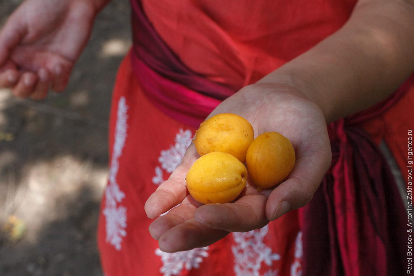 дикие абрикосы в Гималаях