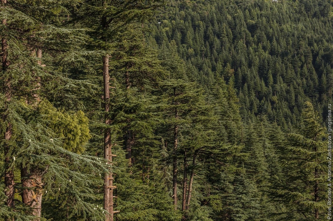 лес в долине Куллу