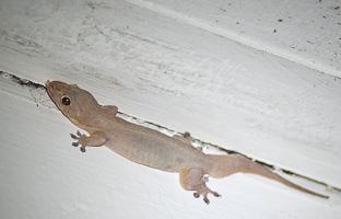 О гекконах и чудесах