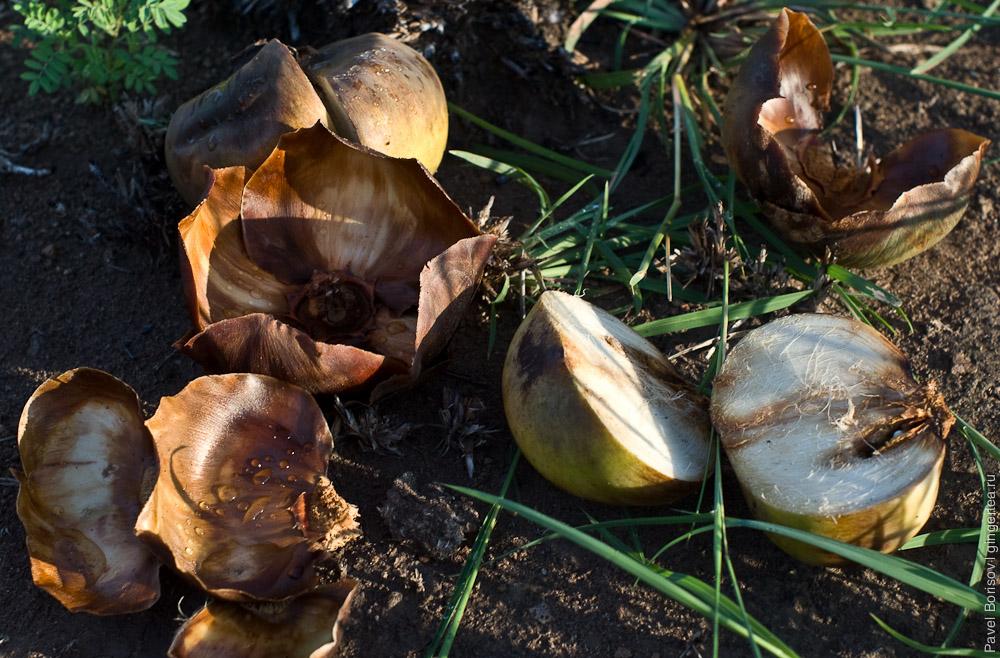 плоды веерной пальм, fan palm fruit