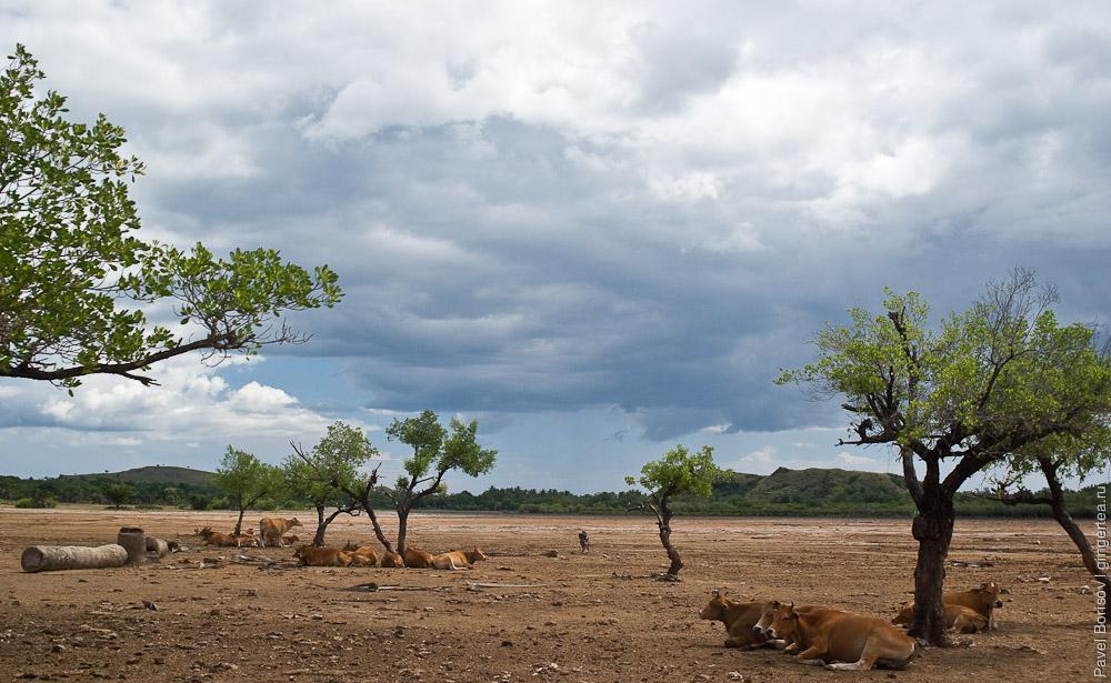 Коровы в приливной полосе, the cows in a tidal area