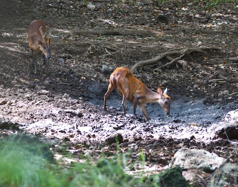Животные сухого тропического леса в западно балийском национальном парке