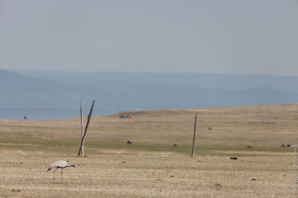 журавли-красавки на берегу Хубсугула